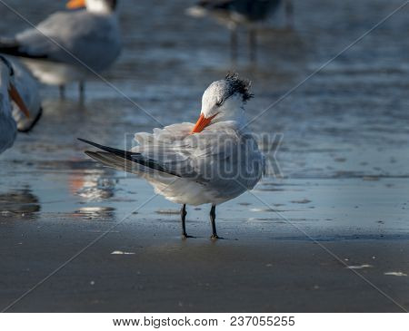 A Beautiful Royal Tern Rests On The Sands Of A South Carolina Beach Comfortable Preening In The Comp