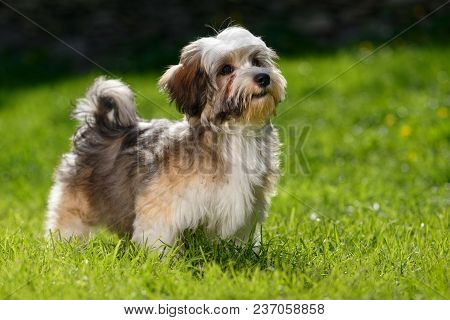 Cute Little Havanese Puppy Dog Stands In The Grass And Looks Up