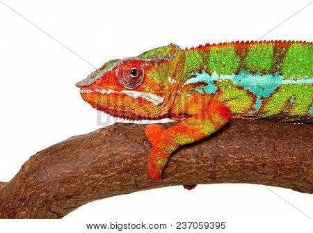 Chameleon Resting On Branch