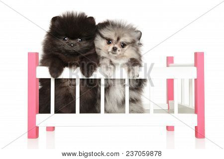 Two Spitz Puppies Sitting In A Child-s Cot On White Background.