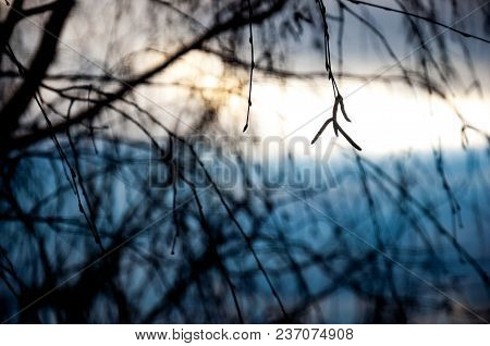 Birch Twigs With Catkins On Blurred Abstract Background.