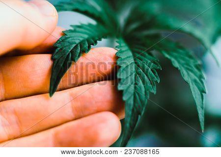 Young Beautiful Macro Cannabis Beautiful Background, Indoor Cultivation, Plant Medical Marijuana Mar