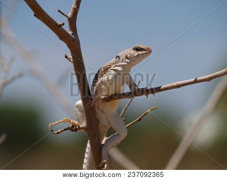 An Arizona Desert Iguana That Had Climbed Into The Branches Of A Bush In Order To Nip The Leaves For