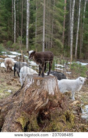 Brown Sheep Standing On A Tree Stump Withe Other Sheeps Around Him In A Swedish Forest
