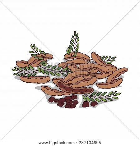 Isolated Clipart Of Plant Tamarind On White Background. Botanical Drawing Of Herb Tamarindus Indica