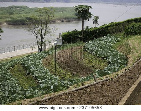 Fresh Kale Harvested On The Organic Garden, Stock Photo