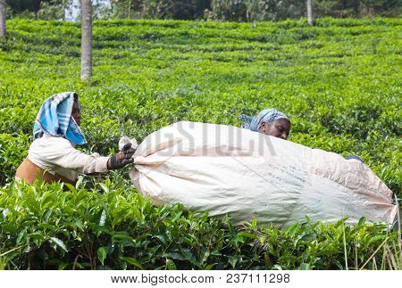 Munnar, India - November 9, 2016: Female Tea Pickers  Carrying Bag With Tea Leaves Over Tea Plantati