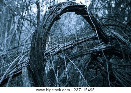 Old Grape Bush Stel Curves In Forest