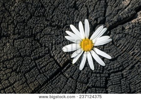 Fresh Chamomile Flower On A Charred Old Stump With Cracks And Annual Rings Close-up
