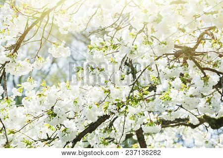 Blooming Jasmine Tree With White Flowers In Spring