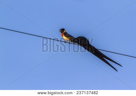 Broad-tailed Paradise Whydah In Mapungubwe National Park, South Africa ; Specie Vidua Paradisaea Fam