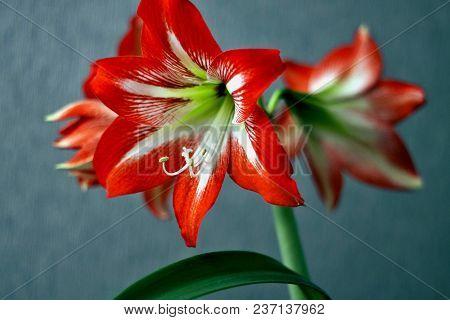 Bright Red Flower Amaryllis, Macro, Narrow Focus Area, On Light Blue Background