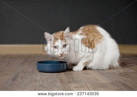 Tabby Longhair Cat Sit Around The Food Bowl And Wait For The Meal.