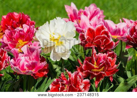 Vierw to beautiful blooming Tulip (Tulipa) Flowers on a green Meadow in Spring. Close-up of colorful Tulips in the Light of the Spring Sun. Beautiful blooming Tulip Flowers on a sunny Spring Day. Blooming Spring Flowers