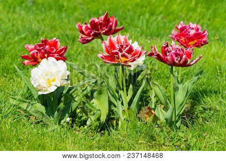 Vierw To Beautiful Blooming Tulip (tulipa) Flowers On A Green Meadow In Spring. Close-up Of Colorful