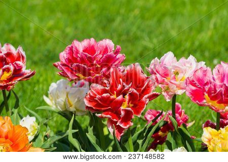 Vierw to beautiful blooming Tulip (Tulipa) Flowers on a green Meadow in Spring. Close-up of colorful Tulips in the Light of the Spring Sun. Beautiful Pink Tulip Flowers on a sunny Spring Day. Blooming Spring Flowers.