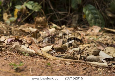 Orange Lizard In Dry Leaves Under Sun. Brown Iguana Hides By Mimicry. Exotic Animal In Wild Nature.