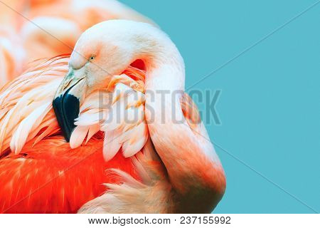 Pink Flamingo Head In Profile. Turquoise Background. Place For Text