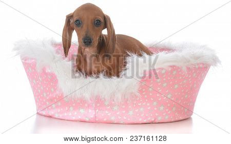 dachshund female puppy in a pink dog bed on white background
