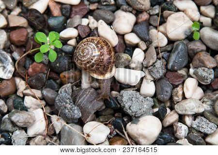 Grape Snail With A Brown Shell On Colored Stones