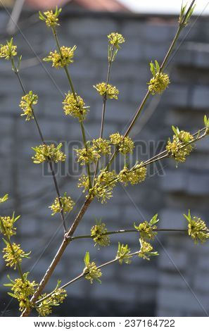 Yellow dogwood flowering flowers. Blooming dogwood flowers proper to the background of the garden.