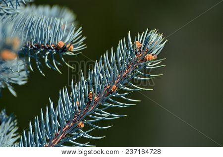 branch of spruce with new shoots