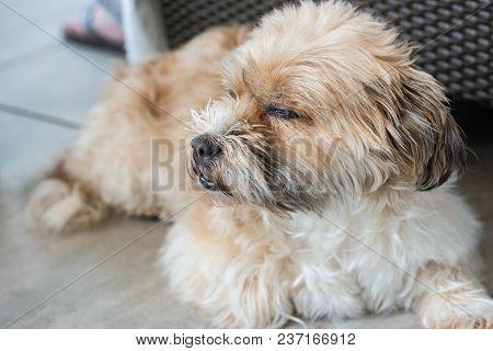 Shorky, Shitzu Yorkshire Terrier Hybrid On The Floor