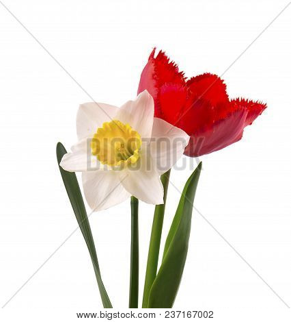 Bright Yellow Daffodil And Red Tulip, Isolated On White Background
