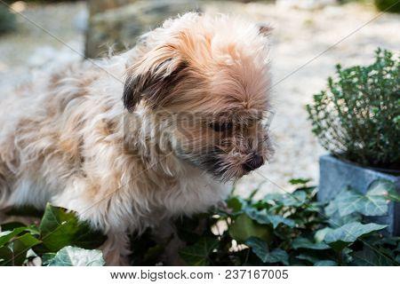 Shorky, Shitzu Yorkshire Terrier Hybrid Attentively In The Garden