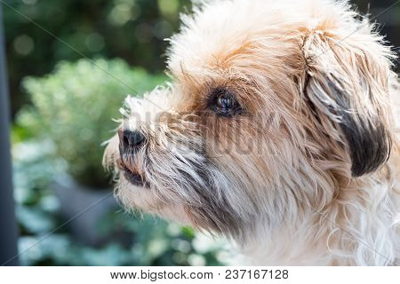 Shorky, Shitzu Yorkshire Terrier Hybrid Attentively In The Garden - Close-up