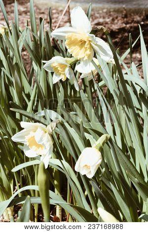 Spring Essential Narcissus