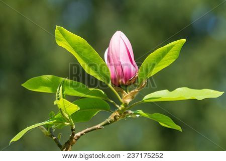 Close-up Of Blooming Magnolia In Spring.  View To A Beautiful Blooming Magnolia Flower In Spring. Gr