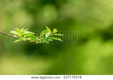 View To A Beautiful Little Branch With Blooming Leaves In Spring. Close-up Of Growing Leaves In Spri