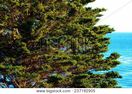 Cypress Pine Tree Overlooking The Pacific Ocean Taken In The Rugged California Coast