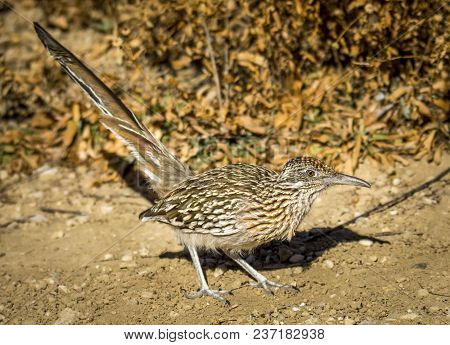 A Beautiful Roadrunner Emerges From The Dry Vegetation As It Pursues Insects In This Southern Colora