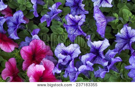 Petunia, Petunia Flower Many Spring Petunia Flowers In The Garden