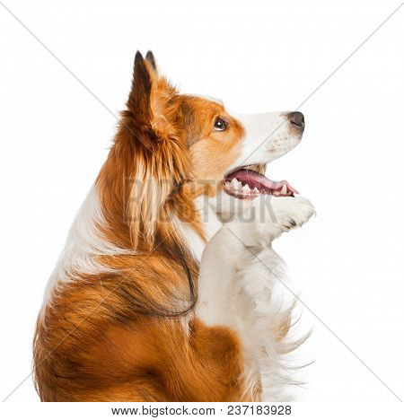 Cute And Friendly Border Collie Of A Sable Color Isolated Over A White