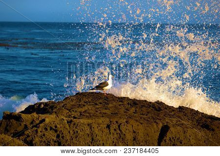 Seagull Bird Resting On A Tide Pool With Waves Crashing Onto Rocks Taken In The Rugged California Co