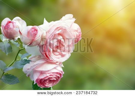 A Photo Of English Pink Pale Rose Bush In The Summer Garden. Rose Shrub In The Park, Outdoor. Sunshi