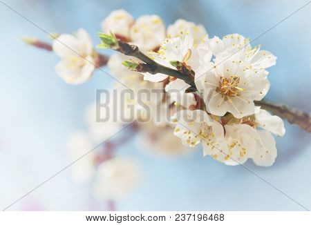 Romantic Tender Background With Spring Cherry Blossom. Blossoming Branch. White Macro Cherry Flowers