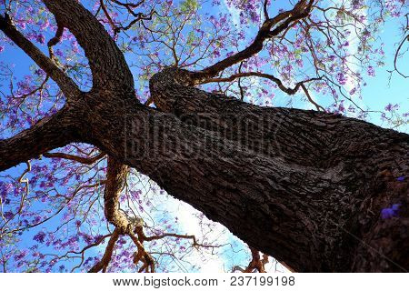 Impression and strange shape of branch of flamboyant tree view from under the tree, violet flower on blue sky bloom in spring make wonderful nature poster
