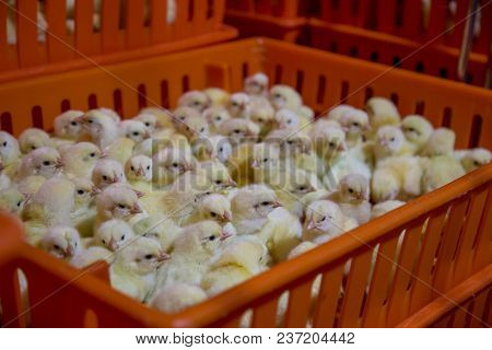 Baby Chicken Just Born, Poultry Business. Chicken Farm Business With High Farming And Using Technolo