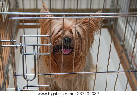 Yorkshire Terrier Shaggy Doggie In A Cage. Intelligent Yorkies Dog Top Front View.