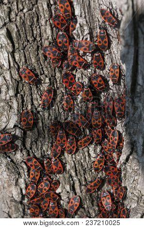 Clumps Of Firebug On The Bark Of A Tree, Pyrrhocoris Apterus.