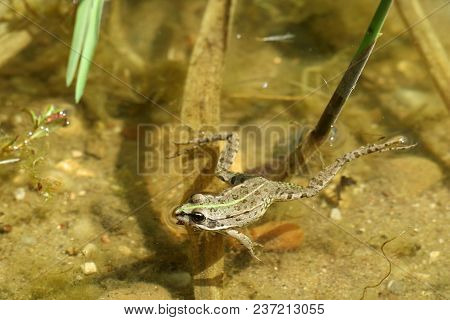 Wild Frog Is Swiming On Water Surface In Summer.
