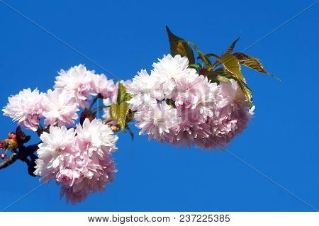 Spring Blooming Of Sakura. Branch Of Kiku Shidare Sakura.
