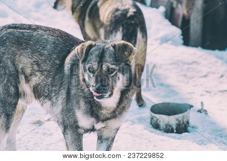 Portrait Of A Stray Dog Of Gray Mongrel.