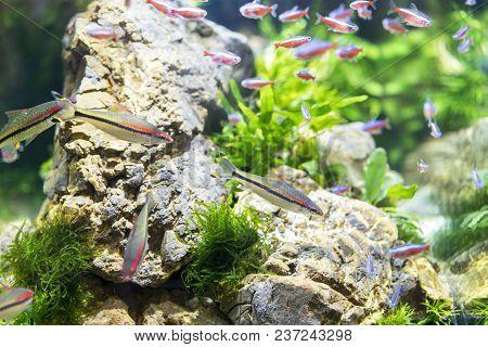 Multicolored Aquarium Fish. A Clean And Transparent Aquarium With Green Vegetation.