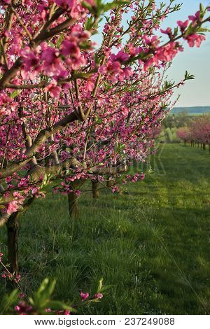Blooming Pink Peach Blossoms On Trees With Peach Trees Gardern On Background In The Begining Of Spri