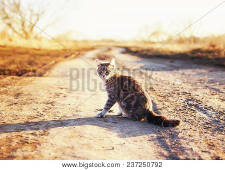 Beautiful Striped Cat Sitting On The Road And Looking Into The Distance On Sunny Spring Street